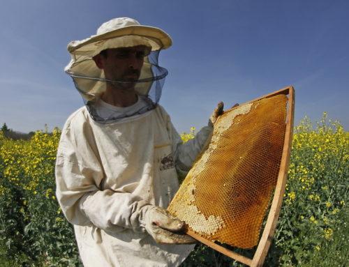 Pčelari nezadovoljni, kiše i hladno vreme utiču na prinos meda