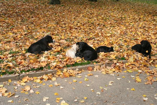Пси луталице